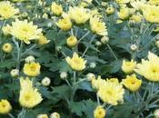 Osez Chrysanthème chez vous