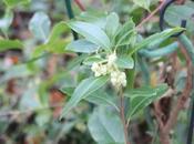 Arbutus andrachnoides, première arbouse