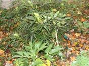 Hellébores, mahonias, préparent leur floraison