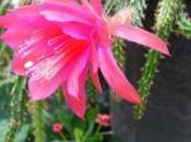 cactus original coloré: l'aporocactus
