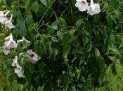 pandoréa liane d'origine tropicale