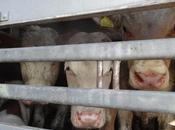 calvaire animaux transportés milliers kilomètres jusqu'en Turquie