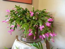 Cactus Noël Schlumbergera
