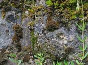 Hélianthème sombre (Helianthemum nummularium var. obscurum)