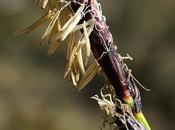 Laîche montagnes (Carex montana)