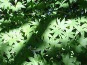 arbre nain: l'érable Japon