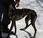 Galga bringée demie timide mais craintive l'adoption chez chiens galgos