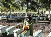 Cuba, l'un seuls endroits monde abeilles sont bonne santé