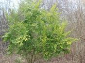 Ligustrum 'Lemon Lime'