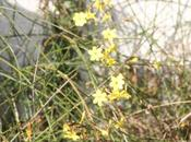 Jasminum nudiflorum Lonicera fragrantissima fleurissent enfin