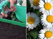 Comment semer graines pâquerette