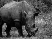 Cornes Rhinoceros, vente bientôt autorisée Afrique