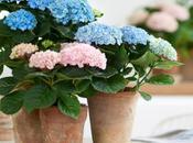 Nouveau, l'Hortensia magical colours