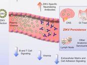 #Cell #Zika #singerhésus #ganglionslymphatiques #systèmenerveuxcentral Persistance virus Zika dans Système Nerveux Central ganglions lymphatiques Singes Rhésus