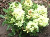 Rhododendron 'Horizon Monarch' pour l'adorable Papillon