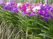 Orchidées Vanda pour fête Mères