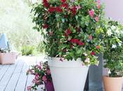 Mandévilla, belle plante soleil