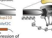 #trendsincellbiology #poresnucléaires #gènes #transcription Complexes formant pores nucléaires: échafaudage pour développement transcription?