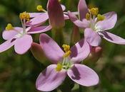 Érythrée petite centaurée (Centaurium erythraea)
