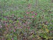 fleurs symphorine