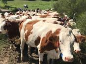Défilé vaches