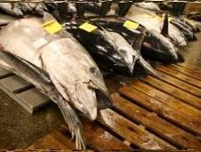 quotas thon rouge revus baisse satisfont écologistes