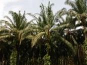 L'huile palme néfaste pour santé l'environnement
