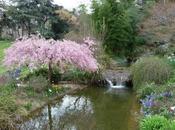 temps cerisiers fleurs