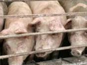Grippe porcine premier européen confirmé Espagne