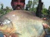 Gros plan pacu poisson conquis l'asie sud-est