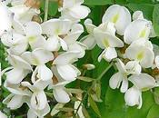 Beignets blanc bouquet (fleurs d'acacia)