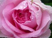 """""""presque"""" première rose jardin"""