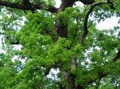 traditions chêne, arbre sacré
