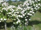 faut cultiver Jardin Roses d'Anne Lafon hauteurs Monbazillac