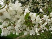 temps cerisiers. cons)