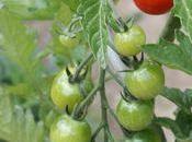 Tomates confites l'ail basilic