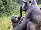 gorille (Bernard Dimey)