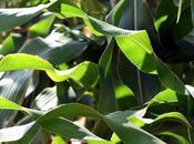 Maïs karkadé (salade de...