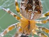 Perdue araignée sans collier