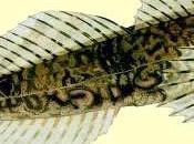 poisson cameleon