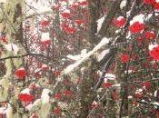Sorbiers sous neige Praz