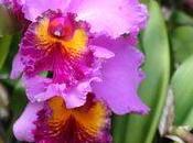 Entretien Orchidée Cattleya