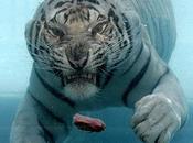 Quand Tigre Blanc hurle, vents lèvent