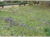 Crocus Jardin Thabor Rennes (1/2)