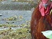 lâché, gardez poules