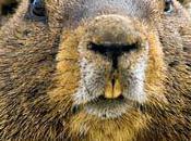 climat chaud convient marmottes