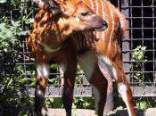antilope Bongo Varsovie recherche sponsor