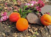 Confiture d'abricots gingembre