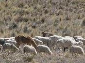 Altiplano, vallée Colca Chivay