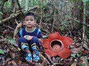 Rafflesia, fleur plus grande monde